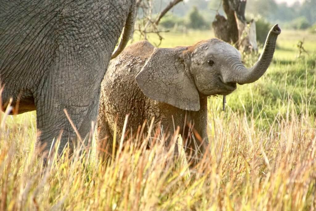 Reason to never ride an elephant: baby elephant