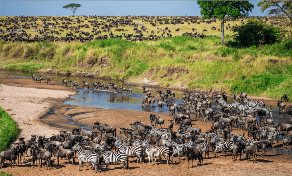 great migration zebra wildebeests